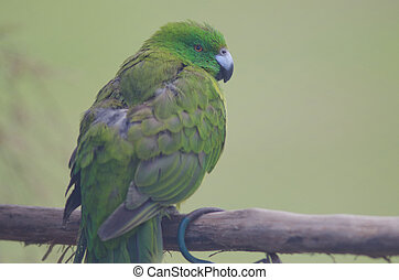 Antipodes parakeet Cyanoramphus unicolor. In captive conditions. Te Anau Bird Sanctuary. Te Anau. Southland. South Island. New Zealand.