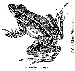 Vintage engraved illustration of a water frog isolated against white. Created in1844.