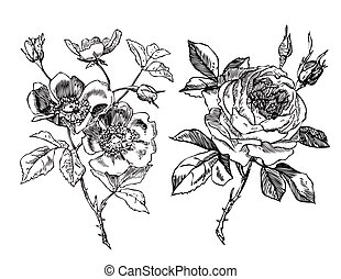 Antique rose and Rosehip - Roses - Hand-drawn engraving ...