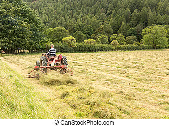 Antique tractor and threshing machine turns hay by...