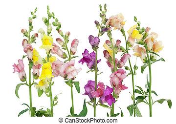 """antirrhinum"", fleurs, frontière"