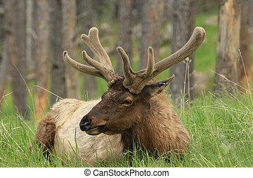 Antler Velvet - Bull elk with new anters in velvet