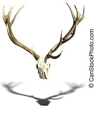 Antlers deer horns with skull isolated over white