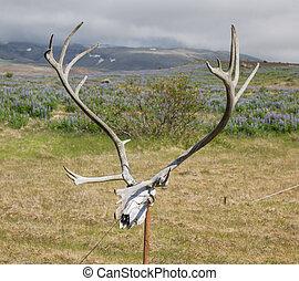 Antlers of a huge Deer