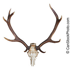 antlers of a huge stag isolated on white background