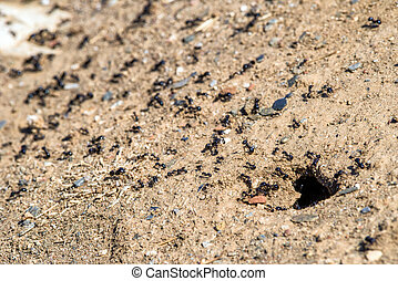 Ants and anthill - Many ants and anthill in ground
