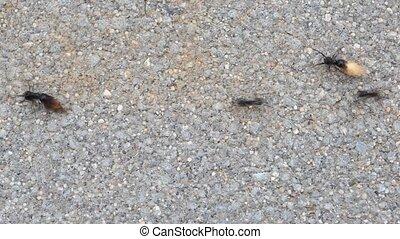 Ants   - Ants travel on tarmac