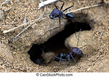 Ants - Black ants in a desert work near an anthill.