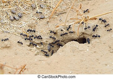 Ants - Black ants in desert near an anthill