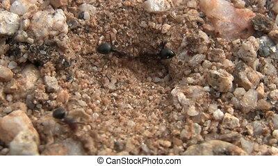 Ants Building Nest In Sonoran Desert