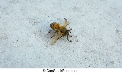 Ants carrying a Honey Bee - A group of ants carrying a Honey...