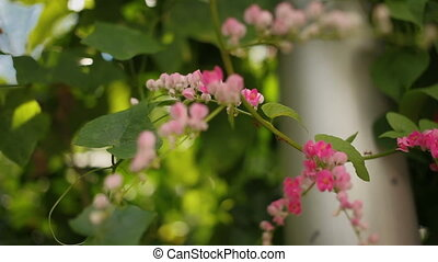 Ants climb up creeper plant with pink flowers. Natural...