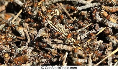 Ants colony on the forest - Ants colony macro on the forest...