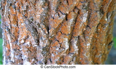 Ants Crawl along the Bark on a Tree Trunk. Summer. Close-up.
