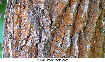 Ants Crawl along the Bark on a Tree Trunk