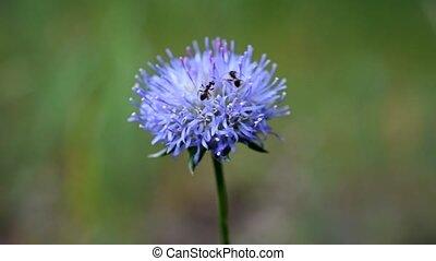 Ants crawl on beautiful purple flower - Ants crawlling on...