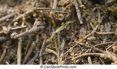Ants crawling in the anthill. Macro. Ants on an anthill....