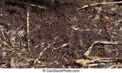 ants crawling on anthill in the woods