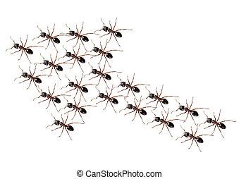 Ants discipline - Ants walk in a arrow in strict discipline