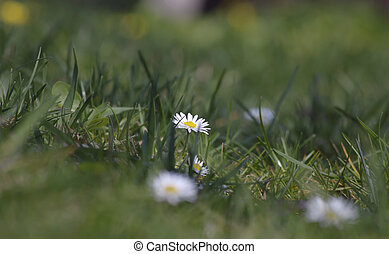 wild daisies in the spring