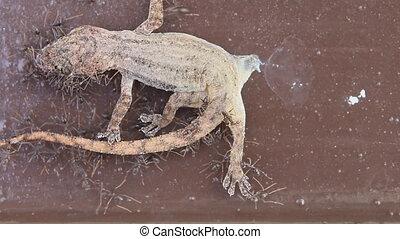 ants feeding food on dead lizard - Black ants feeding food...