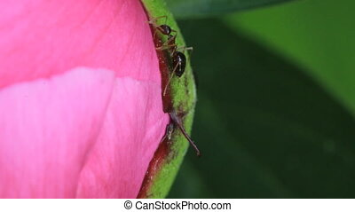 Ants getting nectar from a peony plant