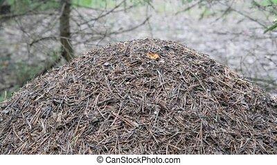 Ants in a forest anthill. - Ants in a forest anthill closeup...