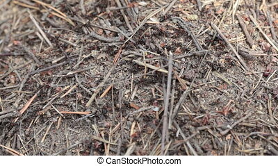 Ants in an anthill in the wood