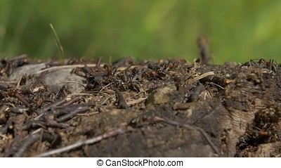 Ants in nature. Teamwork: Black and Red Ants on Wooden Surface with Stones. ants marching on a branch