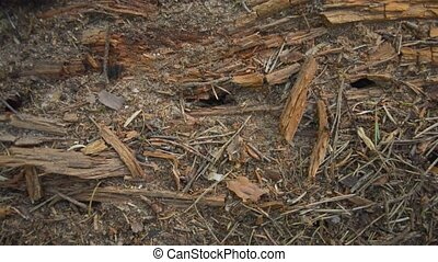 Ants living inside old wooden log - Thousands of ants...