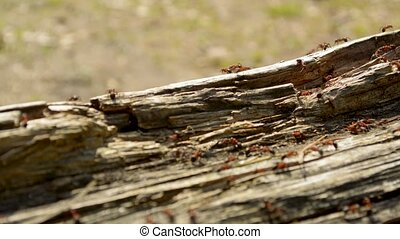 Ants living on a wooden log in coniferous forest