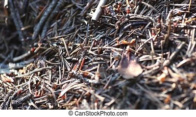 Ants - Many ants in the forest