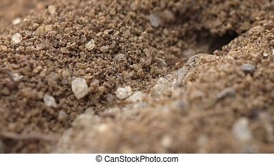 Ants Marching in and out of Burrow in Extreme Closeup -...