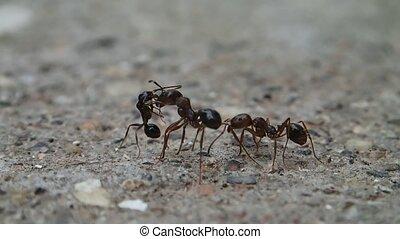Ants meeting