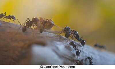Ants (Messor Barbarus) at hunting in Timelapse