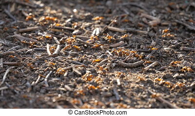 Red wood ants moving on the nest. Anthill in spring close up macro lens wild nature insect forest summer