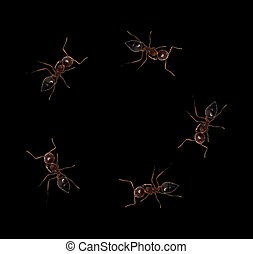 ants on a black background. macro