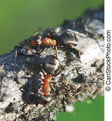 ants on a branch