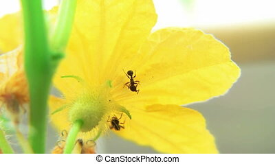 Ants on Cucumber blossom time lapse
