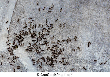 Ants on the floor inside house. A path of colony black and brown ants. Many beetles eat on the floor in the apartment.