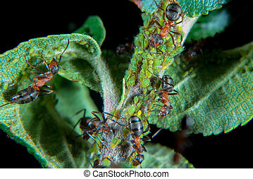 Red wood ants guarding and hearding their green Aphids on a plant