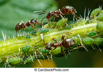 Ants taking care of aphids on nettle stem