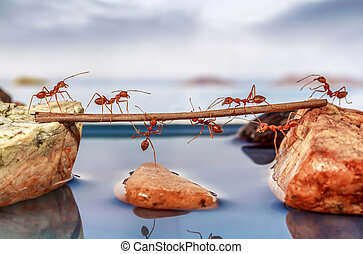 Ants trying to cross water, teamwork concept