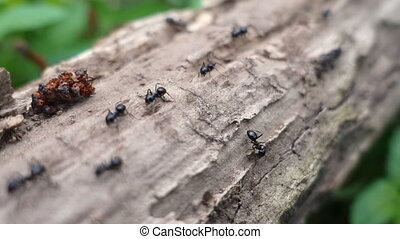 ants walking on the branch in the forest, closeup