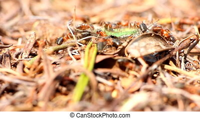 ants work together to kill prey butterfly macro insect -...