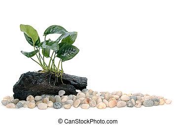 Anubias barteri aquarium plants on small driftwood with rocks