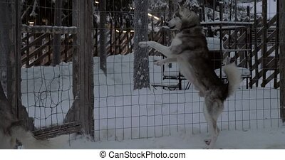 Anxious behavior of husky dogs in cage - Husky dogs...