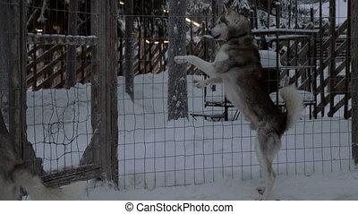Anxious behavior of husky dogs in cage - Husky dogs...