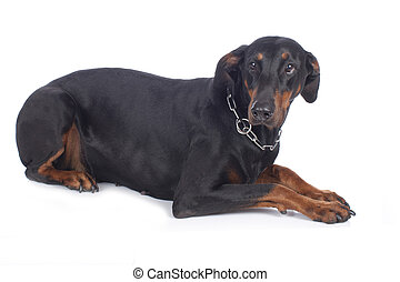 Anxious dobermann dog