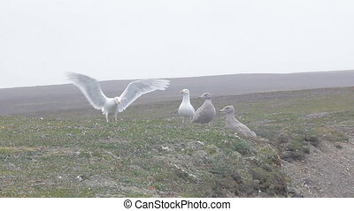 Anxious parents. Pair of white Arctic gull zealously guarded by two Chicks-Teens
